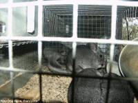 chinchillas in cage - fur farming, photo: One Voice, France