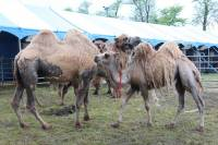 Camels in the circus in Cakovec - Photo: emedjimurje.rtl.hr.