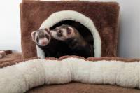 Domestic ferrets - Tvorum