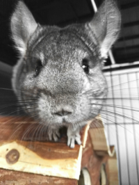 Rescued chinchillas in their homes [ 1.20 Mb ]