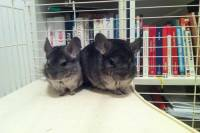 Rescued chinchillas in their homes [ 90.56 Kb ]