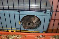 Rescued chinchillas in their homes [ 81.62 Kb ]