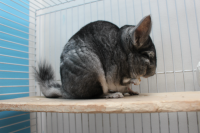 Rescued chinchillas in their homes [ 735.25 Kb ]