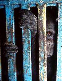Gorilla in a cage [ 37.11 Kb ]