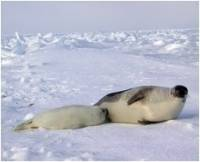 Mother and baby harp seals [ 30.29 Kb ]