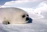 Seal hunt - Harp seal pup 1 [ 31.56 Kb ]