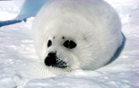 Seal hunt - Harp seal pup 2 [ 33.34 Kb ]