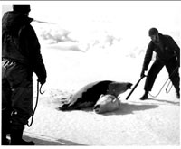 Seal hunt - Hunters and the seal, BW [ 54.00 Kb ]