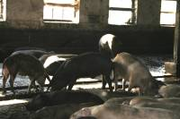 Pig Farm 'Eko Mavrovic' 3 [ 659.39 Kb ]