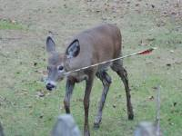 Hunting with bow and arrow