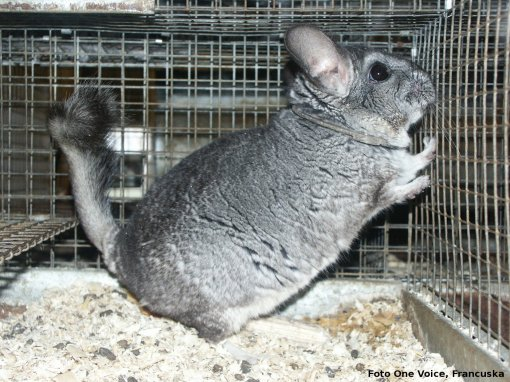 fur farming of chinchillas, photo: One Voice, France [ 829.35 Kb ]