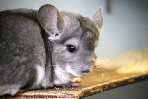 Behind the Fur Coat: The Story of Chinchillas in 20 Photos