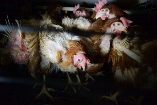 World Day for Farmed Animals, photo: Jo-Anne McArthur for We Animals [ 432.03 Kb ]