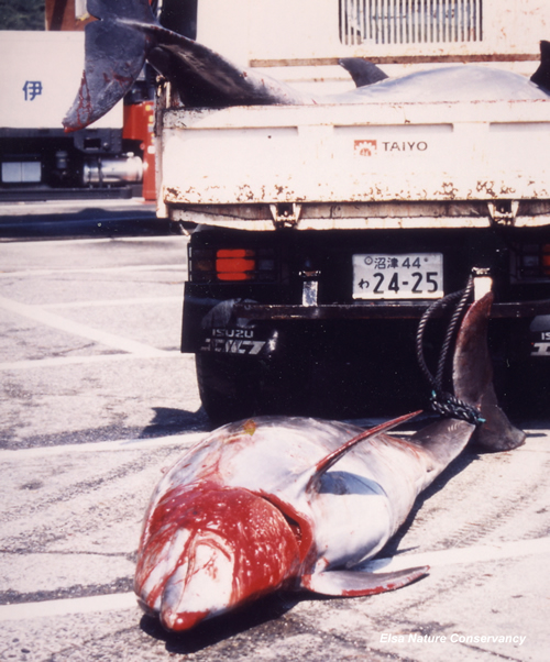 Japan dolphin slaughter 1