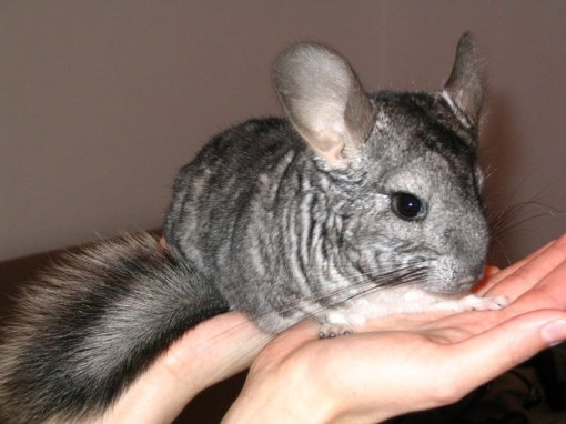 Chinchilla [ 188.64 Kb ]