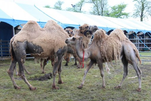Camels in the circus in Cakovec - Photo: emedjimurje.rtl.hr. [ 175.29 Kb ]